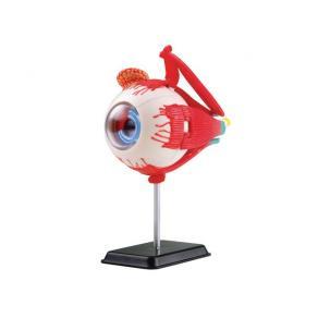 Anatomisk modell Öga 14 cm