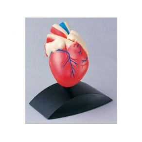 Anatomisk model Hjärta 1:1
